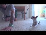 Занимаемся йогой  Перед вами Ник Белло и его забавный пес чихуахуа Панчо.